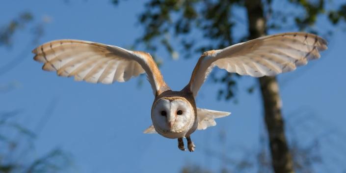 barn-owl-1107397
